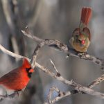 Cardinals in the winter snow.