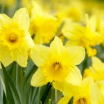 Springtime means daffodils! Enjoy our beautiful garden.